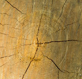 Transverse section of tree trunk Royalty Free Stock Photography
