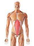 The transversus abdominis Stock Photo