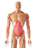 The transversus abdominis. Medically accurate illustration of the transversus abdominis Royalty Free Stock Photography