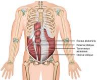 Transversus abdominis mischen medizinische Illustration 3d mit lizenzfreie abbildung