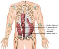 Transversus abdominis muscle 3d medical  illustration royalty free illustration