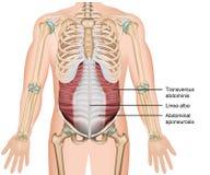 Transversus spier 3d medische illustratie, abdominals diepe spier stock illustratie