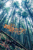 Transylvania's Foggy Forest. Tall trees in Transylvania`s foggy forest and orange young tree stock images