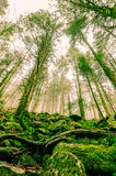 Transylvania's Forests. Tall trees in Transylvania`s foggy forest stock image