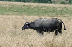 Transylvanian-Büffel lizenzfreie stockbilder