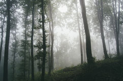 Transylvanian forest with fog Stock Image