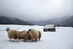 TRANSYLVANIAN SHEEP AND FARMHOUSE Royalty Free Stock Images