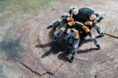 Trap-door spider. On the wood Royalty Free Stock Photos