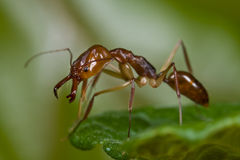 Trap jaw ant. Macro shot of a trap jaw ant royalty free stock image
