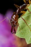 Trap jaw ant. Macro shot of a trap jaw ant Royalty Free Stock Photography