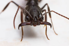 Trap-jaw ant close up. Macro over white screen royalty free stock images