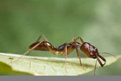 Trap-jaw Ant on green leaf. Macro royalty free stock images
