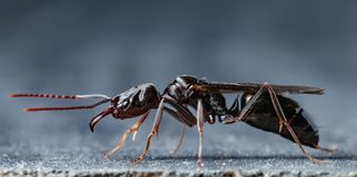 Trap jaw ant. & x22;Odontomachus bauri& x22; super macro photo royalty free stock photo