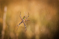 The trap. The spider is waiting for the victim in the web Royalty Free Stock Photography
