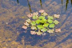 Trapa Natans (castagna d'acqua) Fotografia Stock Libera da Diritti