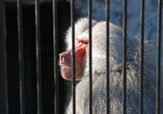 Traped baboon. Caged baboon monkey behind bars stock image