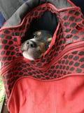 Traped mały pies fotografia stock