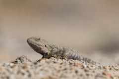 Trapelus Sanguinolentus, jaszczurka Od rodziny Agama Stepowy agama Wielka Stepowa jaszczurka Trapelus Sangoinolentus Ogrzewają Na Zdjęcie Royalty Free