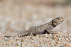 Trapelus Sanguinolentus, jaszczurka Od rodziny Agama Stepowy agama Wielka Stepowa jaszczurka Trapelus Sangoinolentus Ogrzewają Na Fotografia Royalty Free