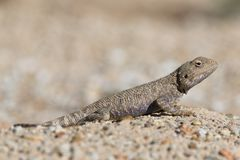 Trapelus Sanguinolentus, Lizard From The Family Of Agama. Steppe Agama.Large Steppe Lizard Trapelus Sangoinolentus Is Heated On Th. E Sand. Altyn-Emel National royalty free stock photography
