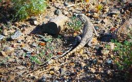 Trapelus sanguinolentus, lizard Stock Image