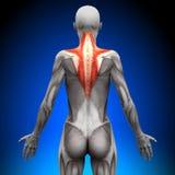 Trapezio - muscoli femminili di anatomia royalty illustrazione gratis