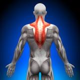 Trapezius - мышцы анатомии иллюстрация вектора