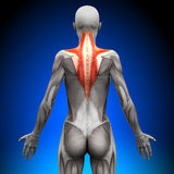Trapezius - Female Anatomy Muscles Royalty Free Stock Photos