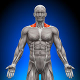 Trapezius Front / Nech Muscles - Anatomy Muscles Royalty Free Stock Images