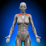 Trapezius Front / Neck Muscles - Female Anatomy. Muscles royalty free illustration