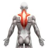 Trapezius mięsień 3D illust - anatomia mięśnie odizolowywający na bielu - Fotografia Royalty Free