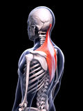 The trapezius muscle Royalty Free Stock Photography