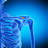 The trapezoid ligament. Medically accurate illustration of the trapezoid ligament Stock Images
