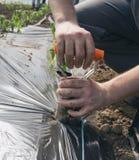 Trapiantatrice tenuta in mano per la piantatura delle piantine del pomodoro Immagine Stock