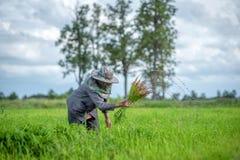Trapianti le piantine del riso nel giacimento del riso, agricoltore è piantina introversa e danno dei calci al colpo di frusta de Fotografia Stock Libera da Diritti