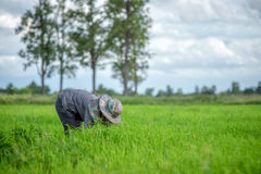 Trapianti le piantine del riso nel giacimento del riso, agricoltore è piantina introversa e danno dei calci al colpo di frusta de Fotografia Stock
