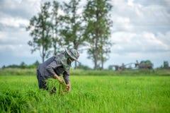 Trapianti le piantine del riso nel giacimento del riso, agricoltore è piantina introversa e danno dei calci al colpo di frusta de Fotografie Stock Libere da Diritti
