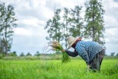 Trapianti le piantine del riso nel giacimento del riso, agricoltore è piantina introversa e danno dei calci al colpo di frusta de Immagini Stock