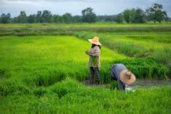 Trapianti le piantine del riso nel giacimento del riso, agricoltore è piantina introversa e danno dei calci al colpo di frusta de Fotografie Stock