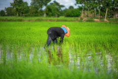 Trapianti le piantine del riso nel giacimento del riso, agricoltore è piantina introversa e danno dei calci al colpo di frusta de Immagini Stock Libere da Diritti