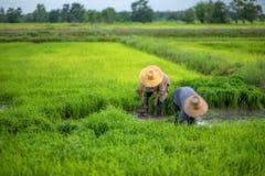 Trapianti le piantine del riso nel giacimento del riso, agricoltore è piantina introversa e danno dei calci al colpo di frusta de Immagine Stock Libera da Diritti