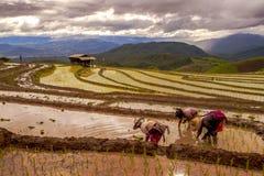 Trapianto degli agricoltori del riso nella risaia sul terrazzo del giacimento del riso Fotografie Stock Libere da Diritti