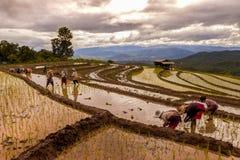 Trapianto degli agricoltori del riso nella risaia sul terrazzo del giacimento del riso Immagine Stock