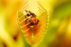 Trappe de mouche de Venus Photographie stock