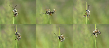 Trapped bee. The bee wing is punctured by sharp leaf, cannot leave Royalty Free Stock Images