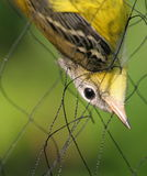 A trapped bird!. A bird that was trapped in the net. The bird was caught as a part of scientific program to study bird and was later freed Royalty Free Stock Photos