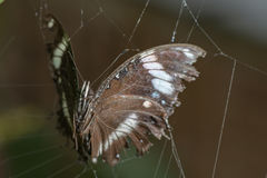 Trapped butterfly Stock Image