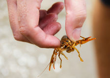 Trapped Crayfish Royalty Free Stock Photography