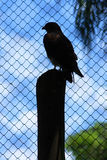 Trapped hawk. Hawk in a cage at Rio de Janeiro`s Zoo, Brazil royalty free stock photography