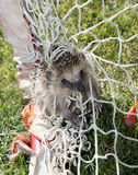 Trapped Hedgehog Stock Photo
